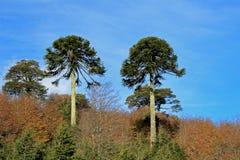 Monkey puzzle tree, Patagonia, Chile Royalty Free Stock Image