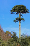 Monkey puzzle tree, Patagonia, Chile. South America Royalty Free Stock Images