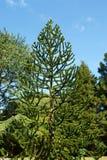 Monkey puzzle tree stock images