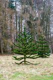Monkey Puzzle tree standing in forest Stock Photo