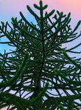 Monkey Puzzle Tree at Sunset. Abstract looking Monkey Puzzle Tree, Araucaria Araucana, from frog`s perspective. The tree was captured against the sky during Royalty Free Stock Images