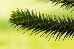 Monkey Puzzle Trees Royalty Free Stock Photography
