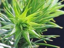 Monkey puzzle. A view of the nice leaves of an Araucaria araucana, or Monkey puzzle tree Royalty Free Stock Photos