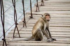 Monkey quello che si siede sul ponte sospeso Fotografie Stock Libere da Diritti