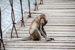 Monkey quello che si siede sul ponte sospeso Immagini Stock
