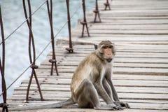 Monkey quello che si siede sul ponte sospeso Immagini Stock Libere da Diritti