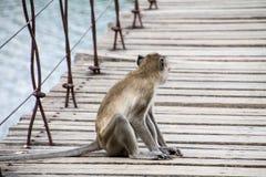 Monkey quello che si siede sul ponte sospeso Fotografie Stock