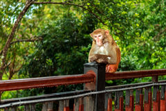 Depressed monkey. After the rain, a lazy monkey squatted on the railing to think was shot in sanya of china Royalty Free Stock Image