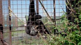 Monkey rasga apagado una hoja del arbusto y la come almacen de metraje de vídeo