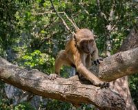 Monkey reaching for food. Monkey in Myanmar is reaching for a food snack stock images