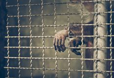 Monkey reaching its hand out from a cage Stock Photography