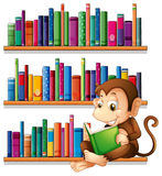 A monkey reading in front of the bookshelves Stock Image