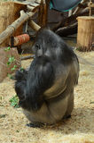 Monkey. Rear view. Monkey doing something in the Prague Zoo stock image