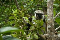 Monkey Red Colobus Animal Mammal Wildlife Jozani Zanzibar Tanzania. Park royalty free stock photography