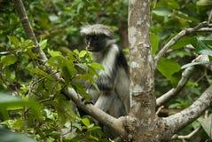 Monkey Red Colobus Animal Mammal Wildlife Jozani Zanzibar Tanzania. Park stock photo