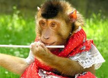 Monkey in a red dress Stock Photos