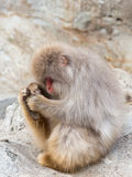 Monkey with a red face Royalty Free Stock Images