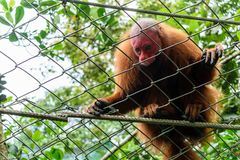 Monkey with red head in the jungle. Brown monkey with red head is watching to the people. This monkey is the chief of its group of monkeys stock photography