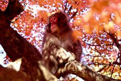Monkey in Red Maple Stock Image