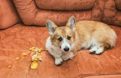 Monkey red puppy dog Corgi bad behavior lying on the sofa which made a hole and tore the upholstery. Cute monkey red puppy dog Corgi bad behavior lying on the stock photos
