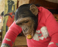Monkey in red sweater Stock Images