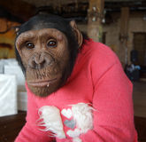 Monkey in red sweater Stock Photography