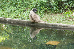 Monkey with reflection itself. Monkey with it's reflection on a water looking into camera lens Royalty Free Stock Photos