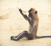 Monkey reflects on writing poetry Royalty Free Stock Photography
