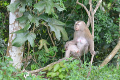 Monkey relax on tree Royalty Free Stock Images