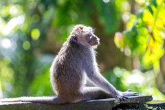 Monkey in relax, Ubud forest, Bali Royalty Free Stock Photography