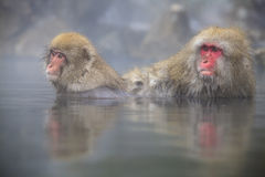 Monkey is relaxation Royalty Free Stock Photo