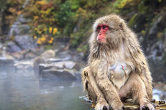 Monkey is relaxation Stock Photos