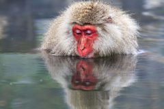 Monkey is relaxation Royalty Free Stock Images
