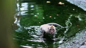 Monkey relaxed on the water stock video footage