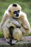 Monkey relaxing Royalty Free Stock Image