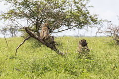 Monkey relaxing in the bush inside Kruger National Park Royalty Free Stock Photo