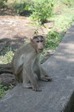 Monkey relaxing in natural environment Royalty Free Stock Photo