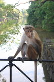 Monkey relaxing in natural environment with river stream Iin Background Stock Photo
