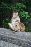 Monkey relaxing in natural environment with young baby monkey Royalty Free Stock Image
