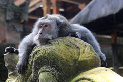 Monkey relaxing on a statue at the Sacred Monkey F Royalty Free Stock Photo