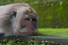 Monkey rest on the stone - closeup portrait Royalty Free Stock Photo