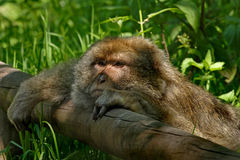 Monkey resting. A Barbary Macaque Monkey resting. They are native to Algeria and Morroco Stock Photography
