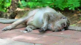 Monkey resting stock video footage