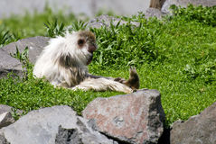 Monkey resting outdoors. Side view of hairy monkey resting outdoors Royalty Free Stock Image