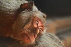 The monkey is resting in the shadow of the temple of Angkor Wat Royalty Free Stock Photos