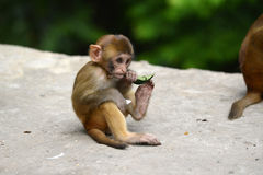 Monkey, Rhesus macaque (Macaca mulatta) Royalty Free Stock Photos