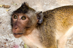 Monkey (Rhesus macaques) from Cambodia. Cambodian monkey called a Rhesus macaques staring Royalty Free Stock Photography