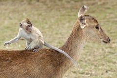 Monkey rider. Young monkey sitting on back of deer, Mauritius, Gazela park Stock Photos