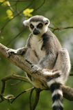 Monkey Ring-tailed Lemur Stock Photos