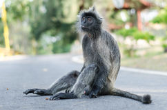 Monkey on Road Stock Photo